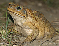 Cane Toad, Giant Neotropical Toad or Marine Toad (Bufo marinus)