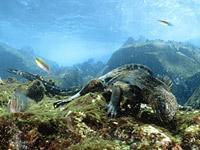 Морская ящерица (Amblyrhynchus cristatus)