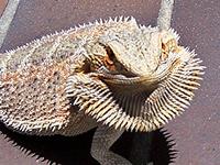 ЯЩЕРИЦА БОРОДАТАЯ (Amphibolurus barbatus)