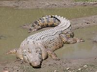 Гребнистый крокодил (Crocodylus porosus)