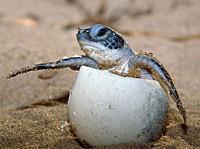Черепашка кожистая (Dermochelys coriacea)