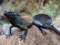 Парусная ящерица (Hydrosaurus amboinensis)