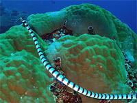 Гигантский морской крайт или плоскохвост (Laticauda colubrina)