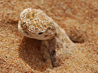 Арабская круглоголовка Андерсона (Phrynocephalus arabicus)