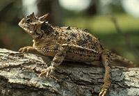Техасская жабовидная ящерица (Phrynosoma cornutum)