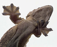 Индомалайский лопастнохвостый геккон (Ptychozoon kuhli)
