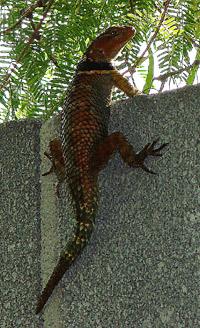 Колючая игуана (Sceloporus jarrovii)
