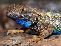 Колючая игуана (Sceloporus occidentalis)