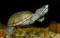 Мускусная черепаха (Sternotherus odoratus)