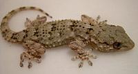 Стенной геккон (Tarentola mauritanica)