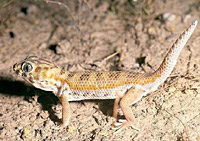 Сцинковый геккон (Teratoscincus scincus)