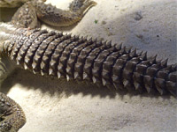 Шипохвост (Uromastyx aegyptius)